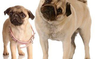 ¿Cuánto cuesta un Pug Carlino cachorro?